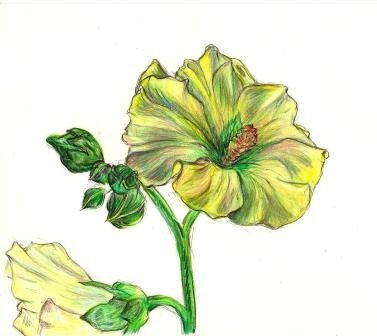 hollyhock pencil drawing by paula Krieg