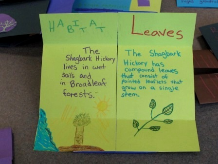 Flexagon about Shagbark hickory, Flexed
