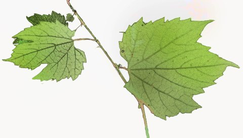 grahic leaves